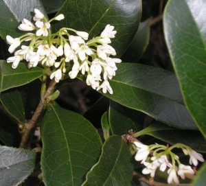 Osmanthus fragans
