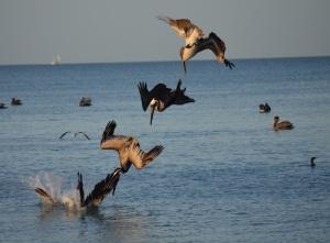 diving-pelicans
