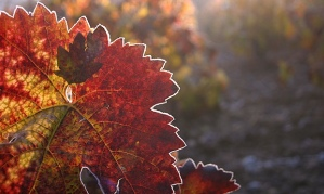 The soft-dying day vines in autumn. Photograph: Alamy