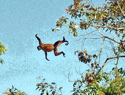 spider monkey (Ateles geoffroyi)