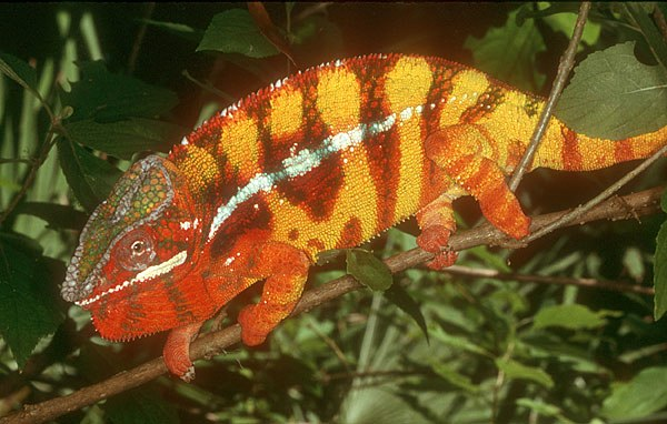 Panther chameleon, in red + yellow stress colors